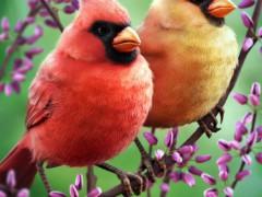 Cardinals - krakencmt
